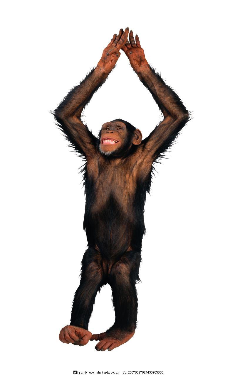 猿科动物0017